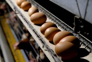 「鶏の卵はどうして毎朝産まれるの?」