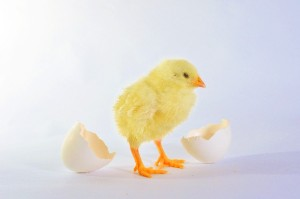 たまごっていつから食べられている?たまごと鶏の歴史をご紹介します!