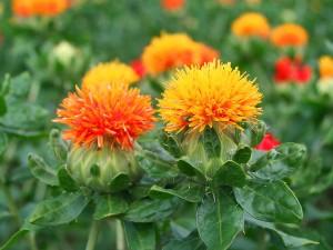 山形県の花、紅花とは?