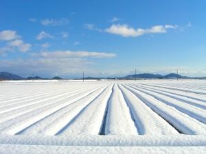 山形の美味しい冬の贈り物、雪菜漬け・赤かぶ漬け!