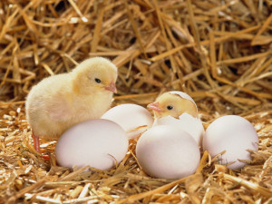 日本一養鶏が盛んな県はどこ?
