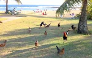人間とニワトリが共存する「チキン・アイランド」