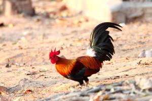 鶏が飛ばない理由はご先祖さまにあり?