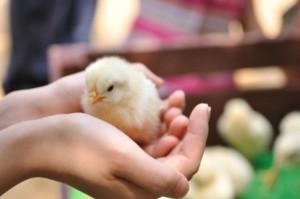 殻がない卵からヒヨコが誕生?!世界中が大注目!大活躍の高校生たち!