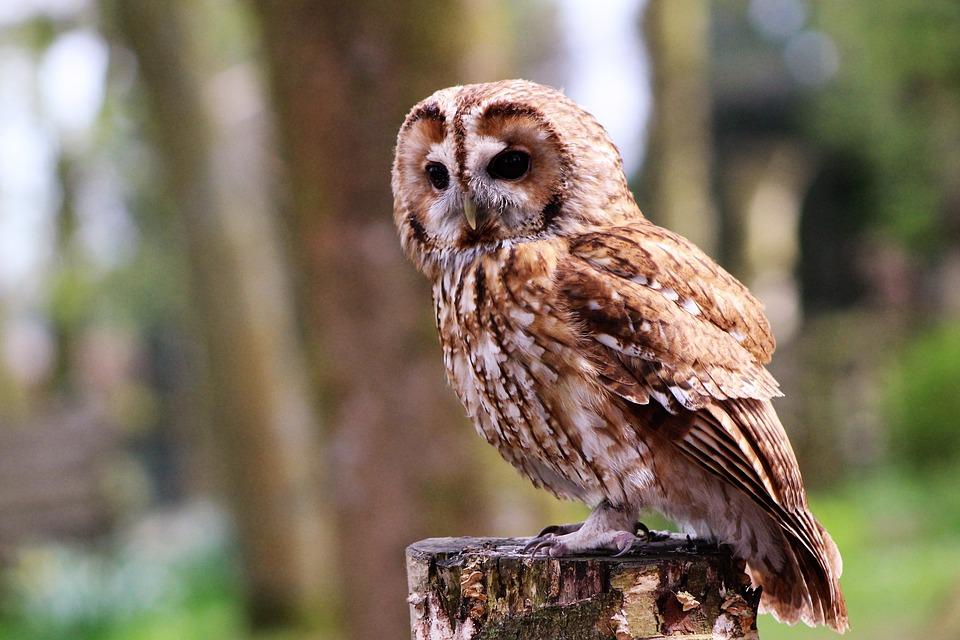 boobook-owl-1655548_960_720
