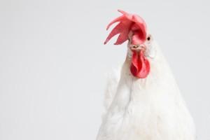鶏の鳴き声はどのような仕組みなのでしょうか?