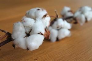 5/10はコットンの日、ウフウフファームの綿の商品をご紹介させて頂きます♪