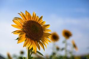 ひまわりと太陽の関係