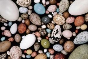 卵の形は鳥の○○○○で変わる?!