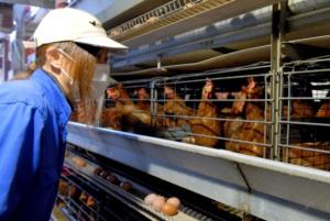 ニワトリが卵を産むのは何時から何時まで?