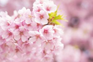 春の訪れももうすぐ!山形のお花見スポットをご紹介します!!