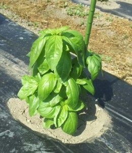 ウフウフガーデンの畑で育てている野菜のご紹介