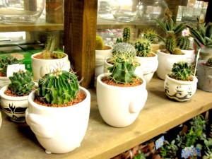 お部屋で植物を育ててみませんか?ウフウフファームのサボテンをご紹介します!