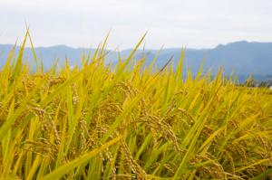 山田ガーデンファームのこだわりのお米を特別価格でご案内中!
