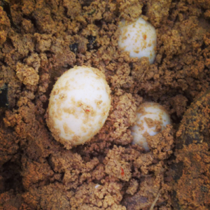 体に良い影響をもたらすゆで卵の「ぬか漬け」