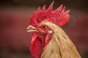 鶏の産卵メカニズムについて学ぼう!