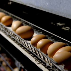 鶏の産卵メカニズムについて知ろう